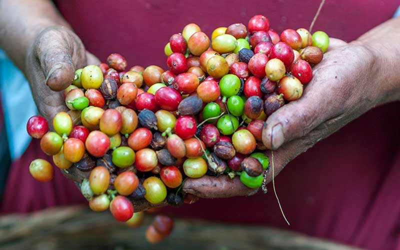 An image of a farmer holding organic coffee beans.