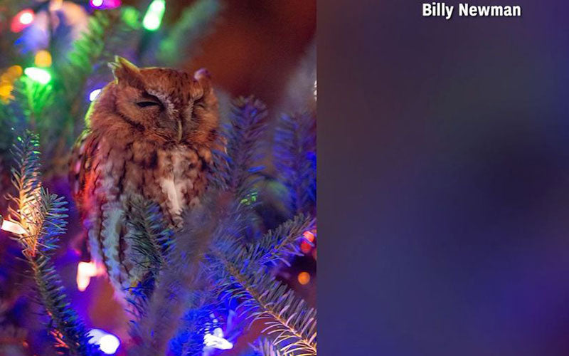 A photo of a live owl found nesting in a Christmas tree