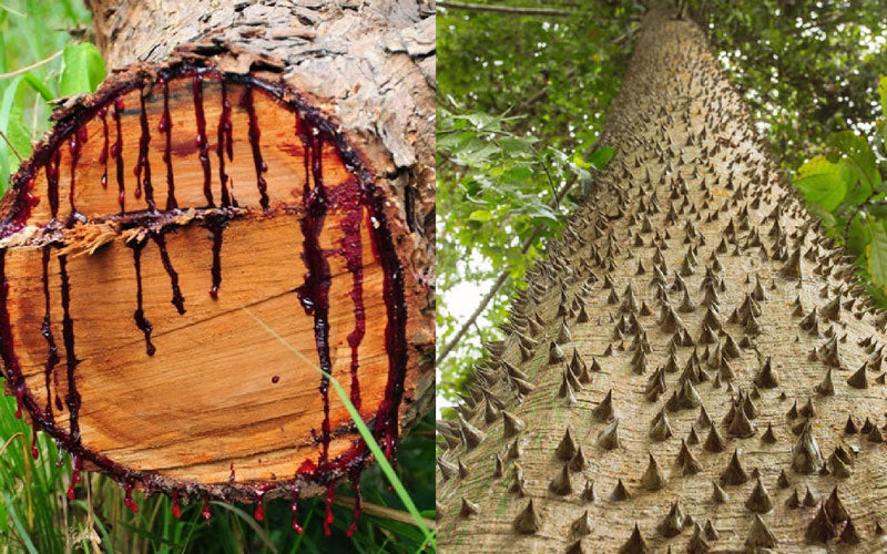 A side by side photo of creepy trees found from around the world. The left shows a tree that looks like it bleeds when it's cut down, and the right shows a tree that has spikes all over its trunk.