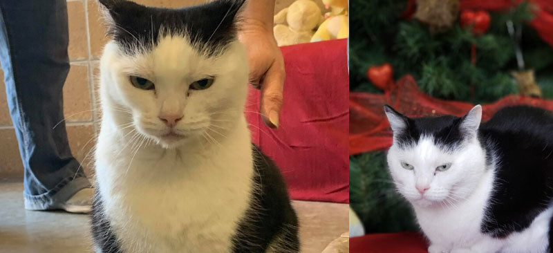 Two photos side-by-side that show a black and white cat that's available for adoption