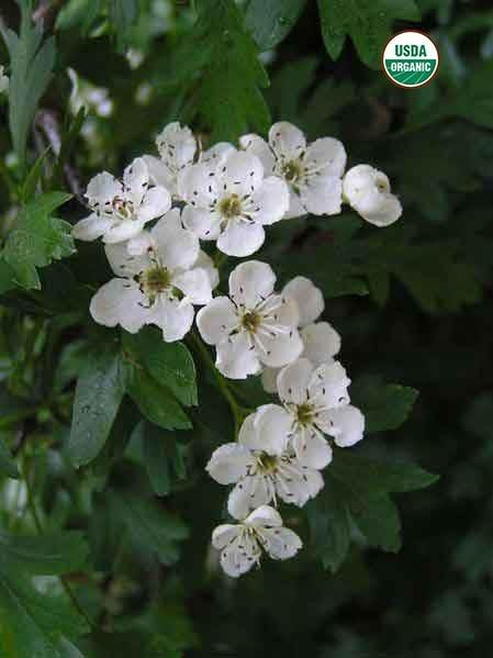 BioComplete™ Hawthorn Leaves And Flowers-My Paleo Pet