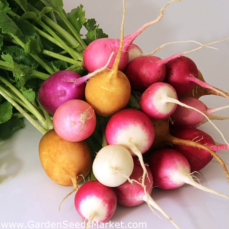 Radish, Rainbow - bunch
