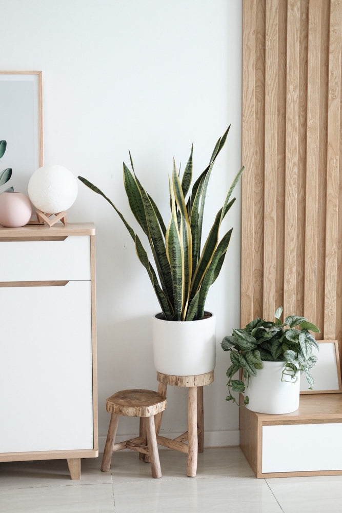 Snake Plant in white pot on wooden stand in minimal boho bedroom