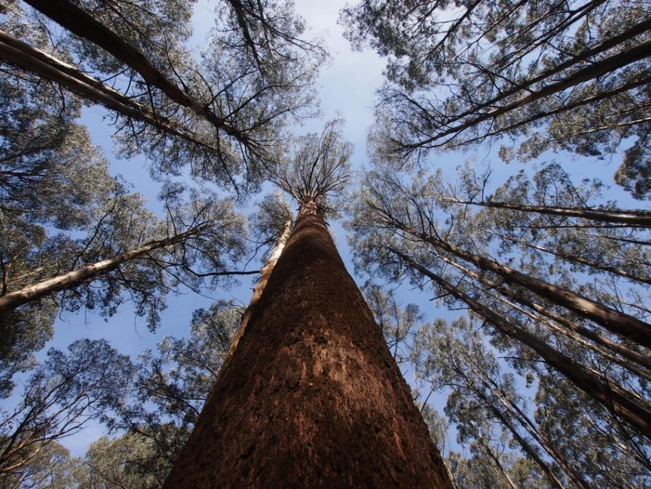 5 Surprising facts about eucalypts