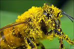 Contribute $5 to Save the Bees and Safe Seeds