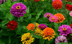 Zinnia Seeds, Thumbelina mix