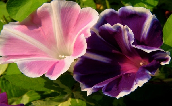 Morning Glory, Mixed Colors Seeds