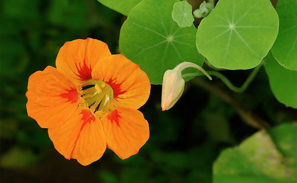Nasturtium Seeds, Jewel Mix