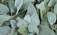 Lamb's Ear Seeds