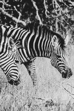 Load image into Gallery viewer, Zebras Crossing