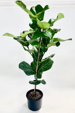 Load image into Gallery viewer, Ficus Lyrata Standard - Fiddle Leaf
