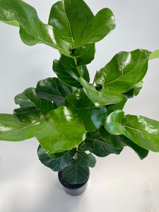 Ficus Lyrata Standard - Fiddle Leaf