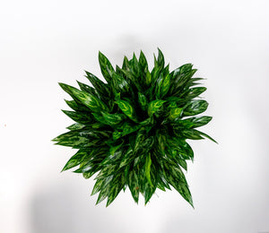 Aglaonema Emerald Beauty