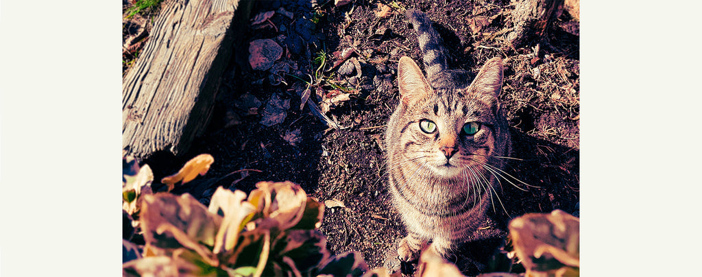 Chat-Sauvage-Observation_01