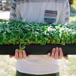 Sunflower Microgreens (3 oz)