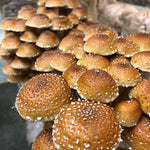 Gourmet Mushrooms locally grown in Englewood Colorado available for Online Order & Pick-up