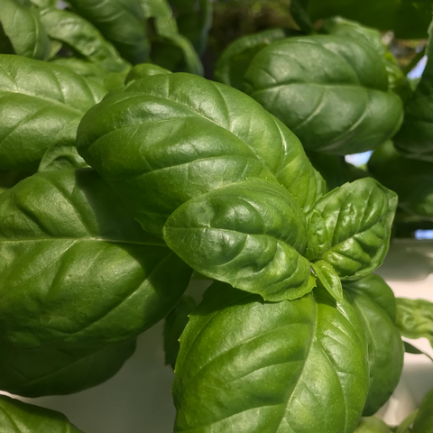 Genovese Basil from Altius Farms availalble from farmers market & online store