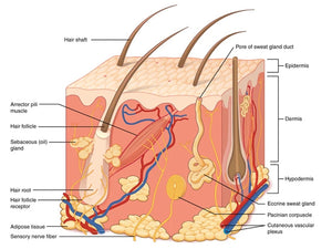The Skin Structure and Functions