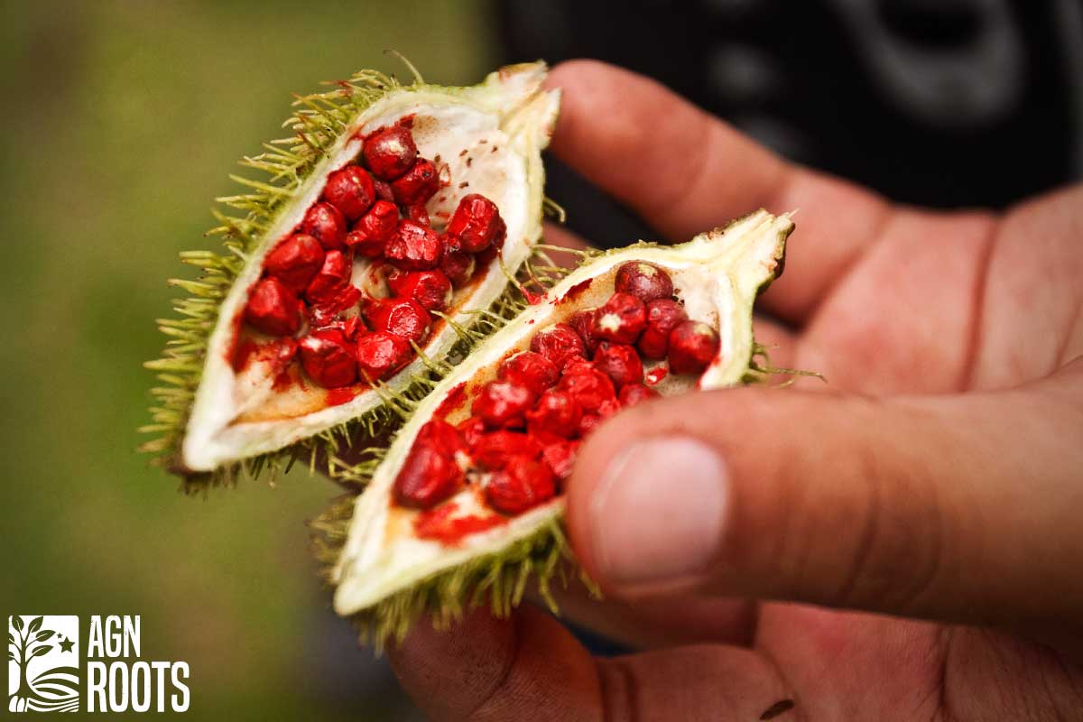 The Annatto seed is why Whey made from cheese manufacturing can have several variants in color - it depends on the cheese made!
