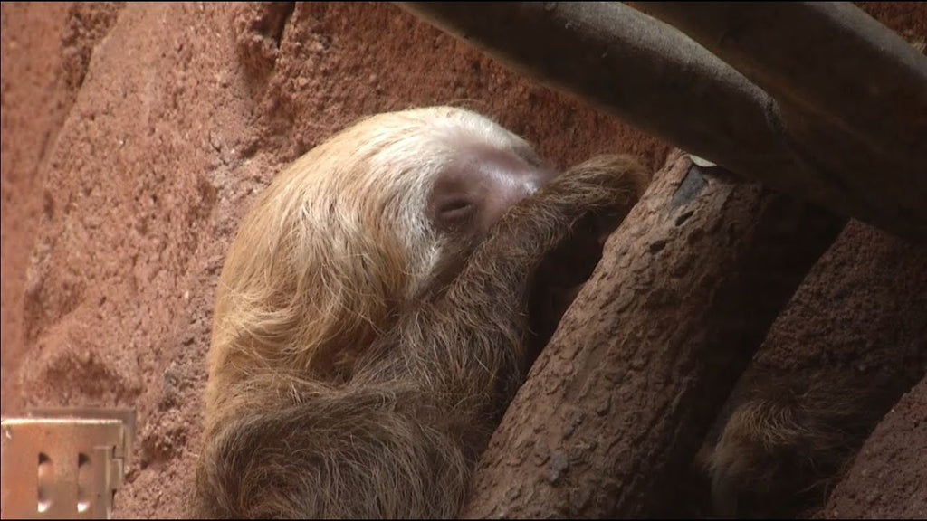 Wild Encounters: Sloths