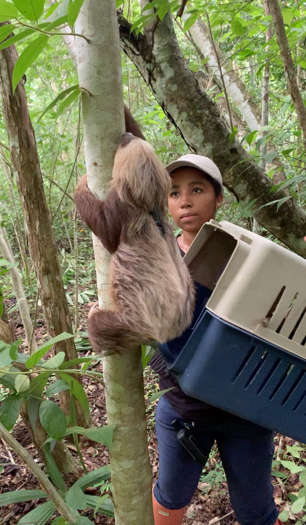 Protecting the sloth: SIU grad student studies relocation success in Central America