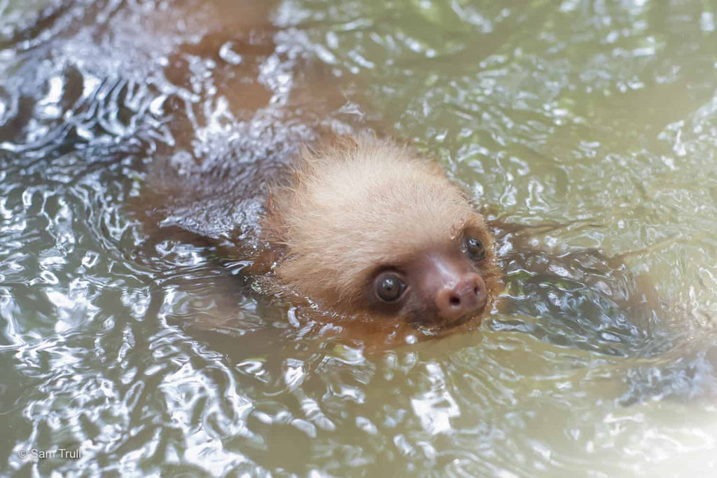 The aquatic lives of sloths