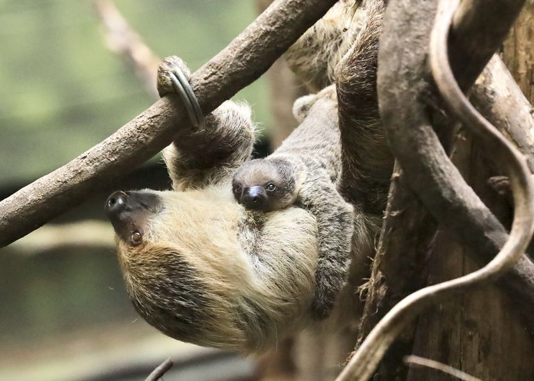 Meet the London Zoo's New Baby Sloth