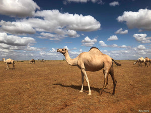 Camel milk in islam and modern day
