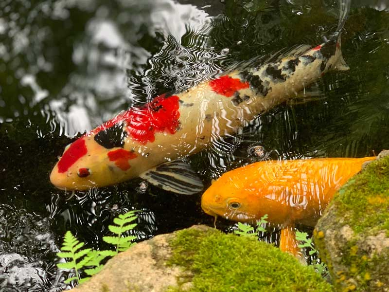 Winter fish care for ponds