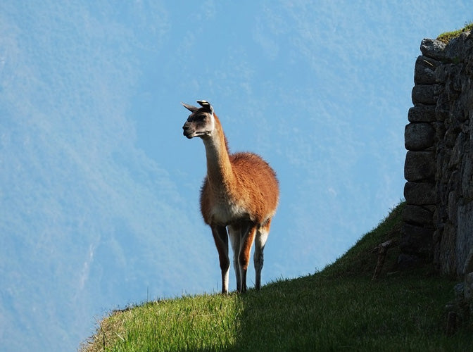 Alpaca stading on a green mound in mountains
