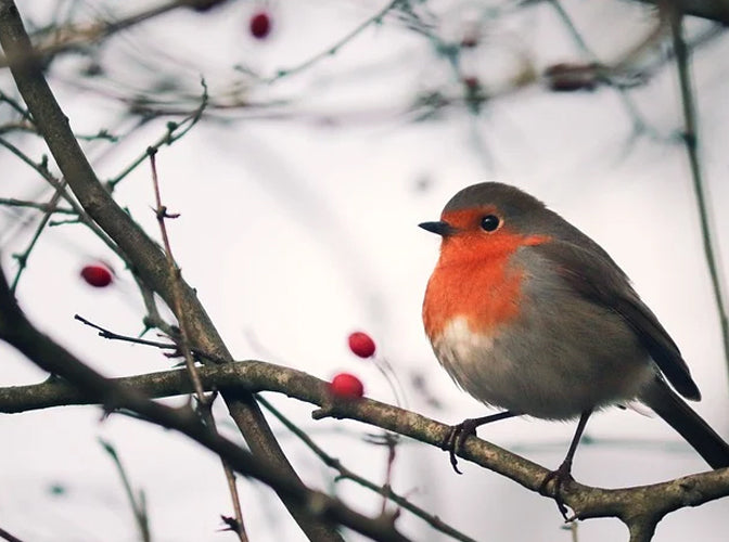 Robin in tree with berries