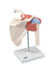 3B Scientific Anatomical Model - functional shoulder joint, deluxe - Includes 3B Smart Anatomy
