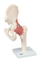 3B Scientific Anatomical Model - functional hip joint, deluxe - Includes 3B Smart Anatomy