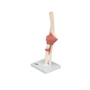 3B Scientific Anatomical Model - functional elbow joint, deluxe - Includes 3B Smart Anatomy