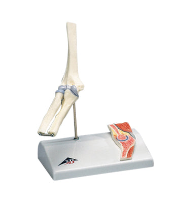 3B Scientific Anatomical Model - mini elbow joint with cross section of bone on base - Includes 3B Smart Anatomy