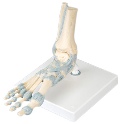 3B Scientific Anatomical Model - foot skeleton with ligaments - Includes 3B Smart Anatomy