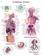 Anatomical Chart - lymphatic system, laminated