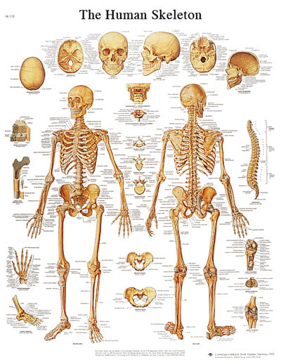 Anatomical Chart - human skeleton, laminated