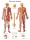 Anatomical Chart - nervous system chart, laminated