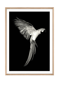Parrot Charlie MONO (CHOOSE FRAME COLOUR) 65x90cm CLEARANCE