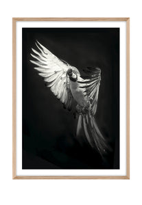 Parrot Paco MONO (CHOOSE FRAME COLOUR) 65x90cm CLEARANCE