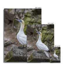 Load image into Gallery viewer, Gannet Canvas