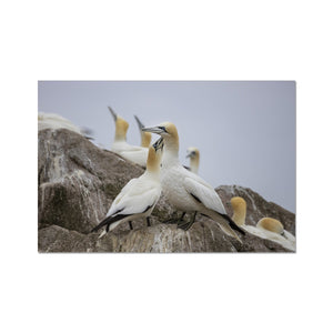 Gannets Hahnemühle Photo Rag Print