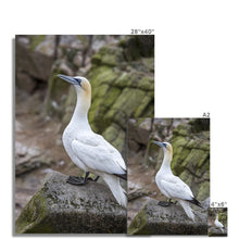 Load image into Gallery viewer, Gannet Fine Art Print