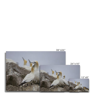 Gannets Canvas