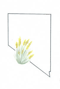 Watercolor print: Nevada state flower