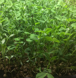 Micro Greens - Pea Shoots
