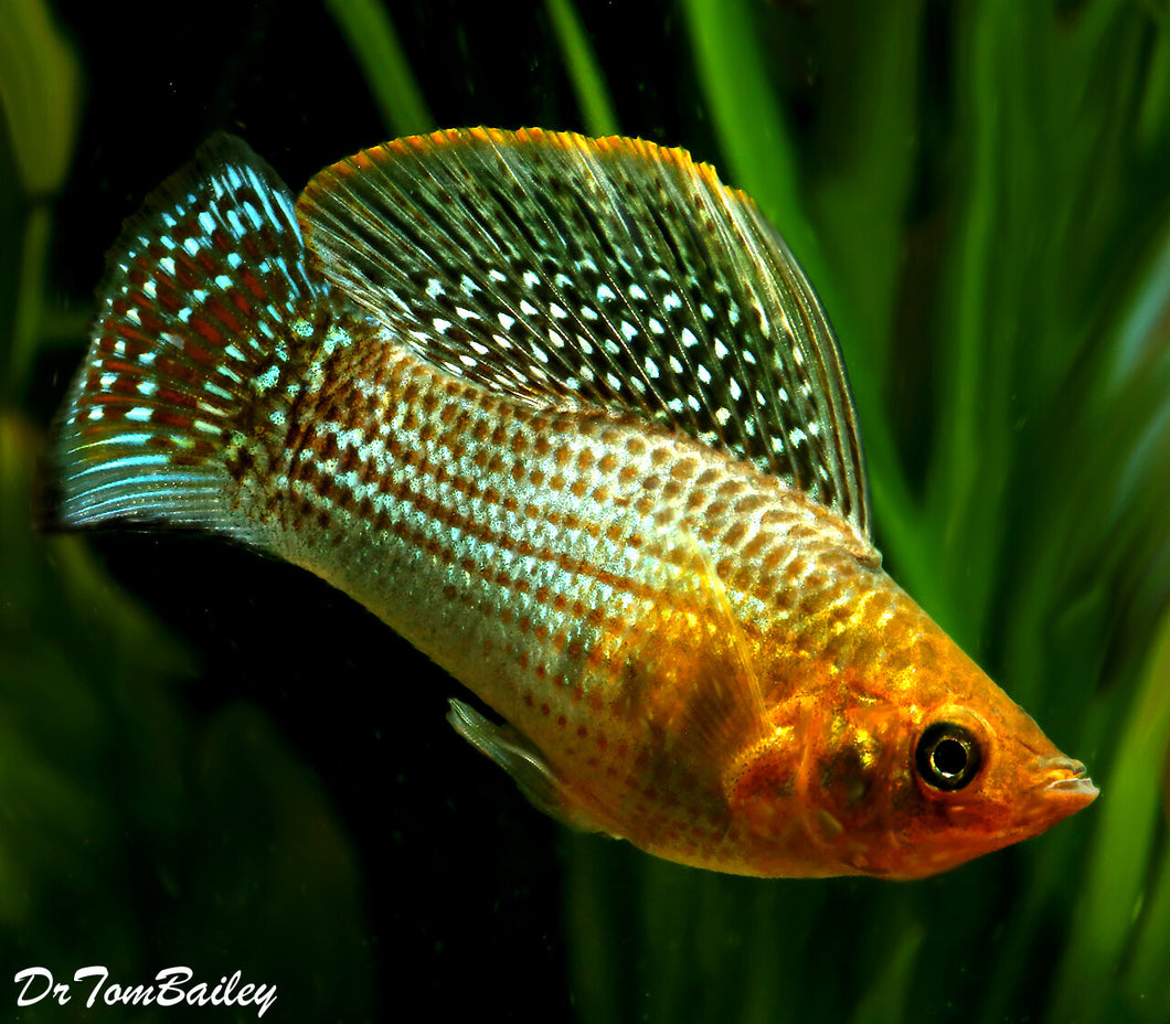 Green Sailfin Molly