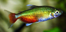 Load image into Gallery viewer, Green Fire Tetra