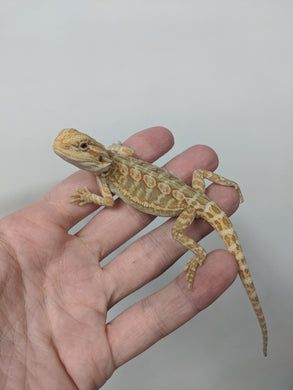 Bearded Dragon Leatherback Baby